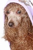 Apricot toy poodle after a bath isolated on white background poster