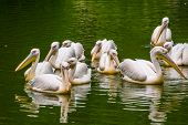 big family of rosy pelicans swimming together in the water, common aquatic bird specie from Eurasia poster