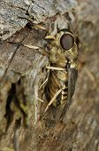 Large Horse Fly on log - Tabanus sp poster