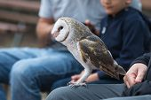Cute barn owl, Tyto alba, with large eyes and face looks like a heart sitting on a lap of its owner in blue jeans. Tame owl poster