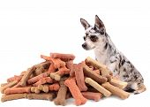 Little chihuahua dog stares at and sits behind large mound of dog treats on a white background poster