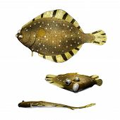 Barfin Flounder illustration from 3 different angles poster