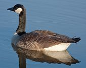 Canada Goose (Branta canadensis) swimming on a pond poster