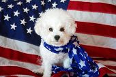 Pure Bred Bichon Frise with an American Flag. Forth of July with a small white dog. Mans best friend celebrates independents day in america. 4th of July.  poster