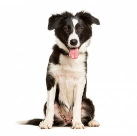 Panting 5 months old puppy border collie dog sitting against white background