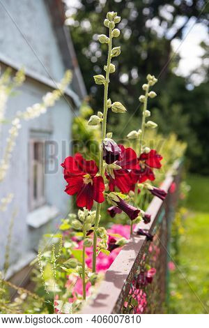 Common Hollyhock (alcea Rosea) In The Summer Garden