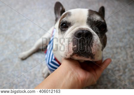 Tame Dog Or French Bulldog Or Squint-eyed French Bulldog, Cross-eyed French Bulldog