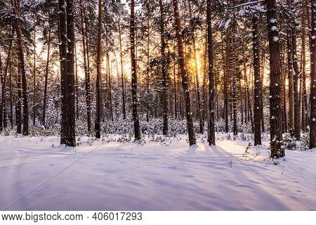 Sunrise In The Winter Pine Forest Covered With A Snow. Young Pine Trees Among The Old Trunks..