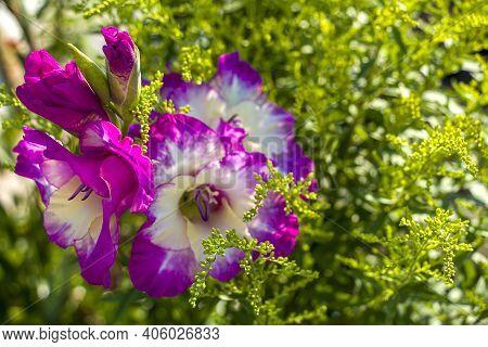 Gladiolus - Genus Of Perennial Bulbous Plants Of Iris Family (iridaceae). Purple Blooming Flowers. F