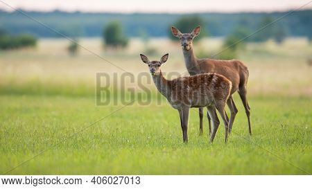 Two Red Deer Looking On Grass In Spring Nature With Copy Space.