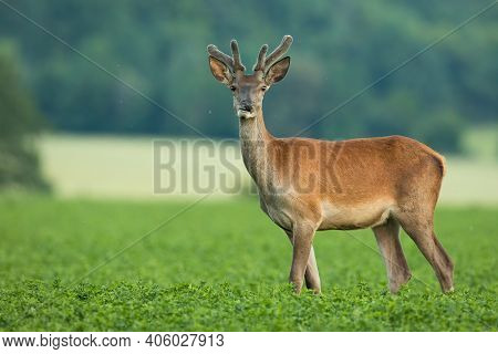 Red Deer Stag With New Antlers Wrapped In Velvet Standing In Clover