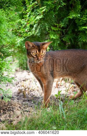 Abyssinian Cat In Collar, Walking In Juicy Green Grass. High Quality Advertising Stock Photo. Pets W