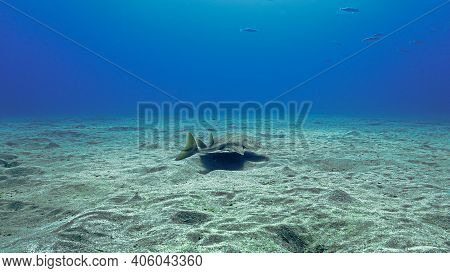 Underwater Photo Of An Angel Shark. From A Scuba Dive Off The Coast Of The Island Tenerife In The At