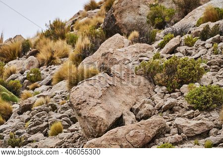 Southern Viscacha, Lagidium , Looks Like A Crossing Of Hare And Chinchilla And Lives In The Higher A