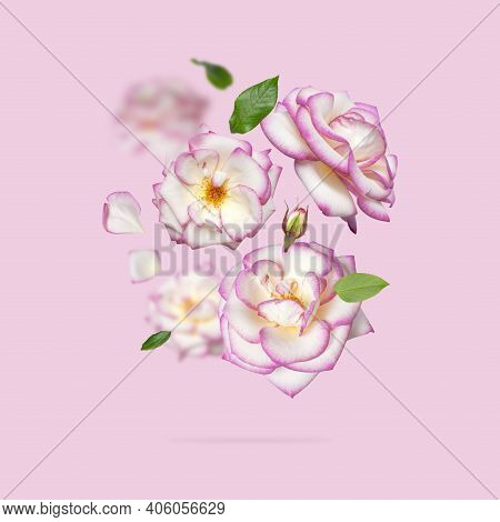 Flying White Roses With Pink Edge On Pink Background. Delicate Beautiful Garden Flowers Roses, Petal