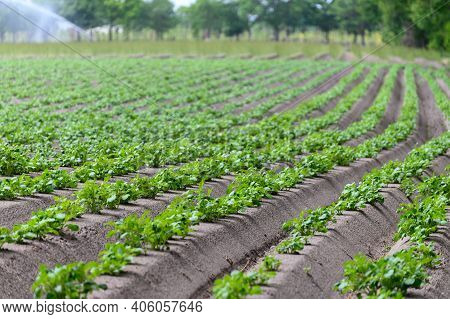 Young Potato Plants Growing On Farm Field In Springtime