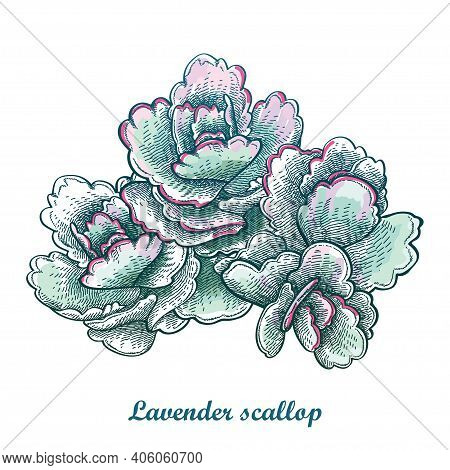 Vector Hand-drawn Sketch Of Lavender Scallops Or Kalanchoe Fedtschenkoi Succulent In Pastel Green Is