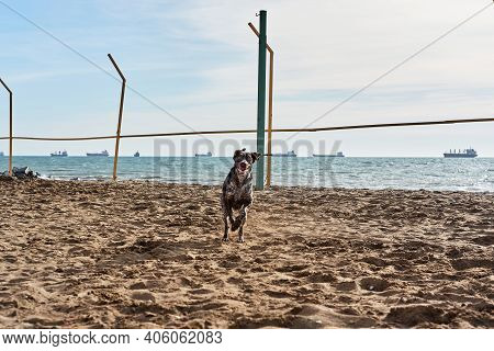 Brown Shorthaired Pointer Runs Along Sandy Shore Of Sea, Smiling And Posing. Charming German High Br