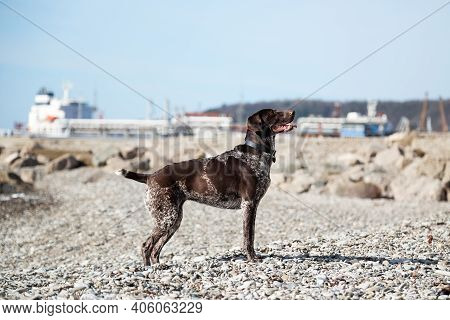 Beautiful Elegant Elegant Shorthaired Pointer Standing On Pebble Beach On Background Of Blue Sky And