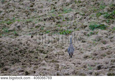 White-faced Heron Egretta Novaehollandiae. The Catlins. Otago. South Island. New Zealand.