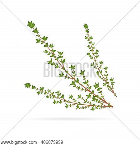Fresh Thyme, Spice Healing Herb, Close-up Vector Illustration Isolated On White Background