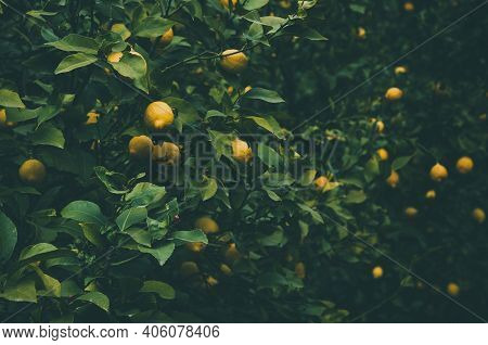 Ripe Yellow Lemons Hang On The Lemon Tree At Plantation. Darkened And Vignetted Natural Background O