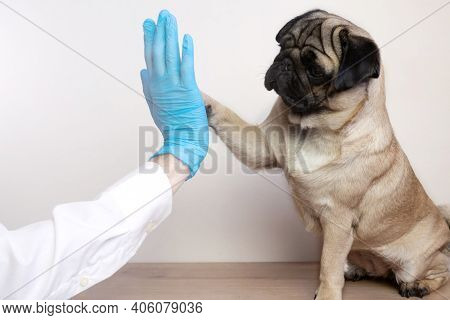 Veterinarian Medical Checkup A Pug Dog. Advertisement Of A Clinic For Pets. Care And Professional Me