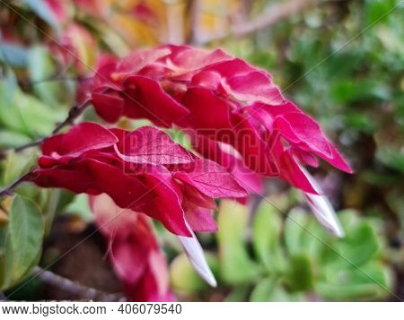 Red Shrimp Flower With Red In Spring Season, Background And Texture