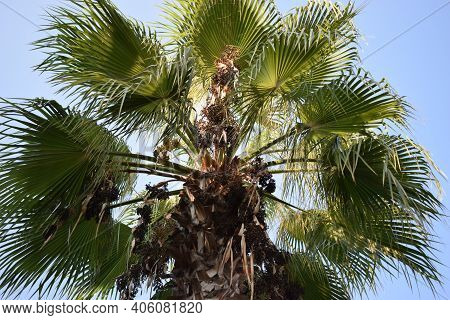 Bottom-up View Of A Beautiful Palm Tree With Blue Sunny Sky. Beautiful Lush Leaves Growing From Brow