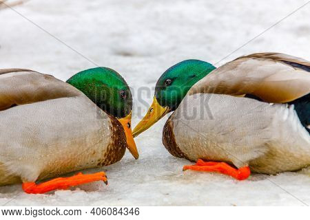 Close Up Of Two Aggressive Drake Mallard (anas Platyrhynchos) Ducks Pecking Each Other On The Snow D