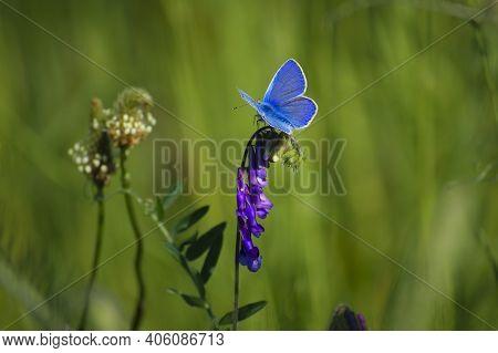 Polyommatus Cyaniris Semiargus, Blue Mazarin. Butterfly Sits On A Purple Meadow Flower. Natural Blur