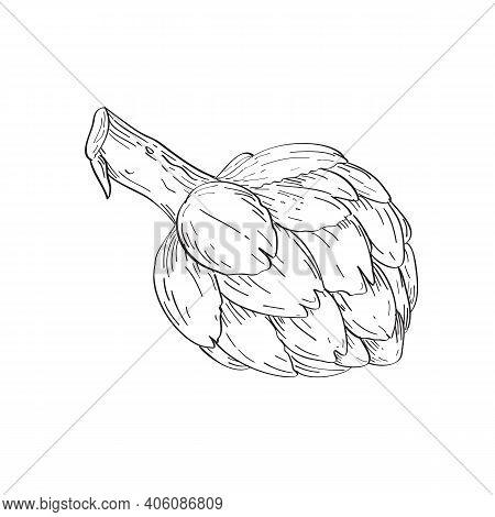 Line Art Drawing Illustration Of The Globe Artichoke , Cynara Cardunculus Var. Scolymus, Or French A