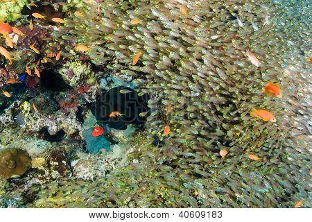 Black Grouper And Glassfish