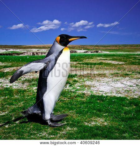 King Penguins at Volunteer Point on the Falkland Islands
