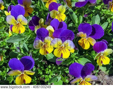 Pansy Flowers (heartsease) Or Viola Tricolor Violet Yellow Pansies Background Pattern. Field Of Colo