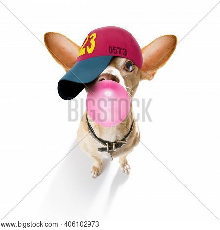 Cool Casual Look Chihuahua Dog Wearing A Baseball Cap Or Hat , Sporty And Fit , Chewing Bubble Gum