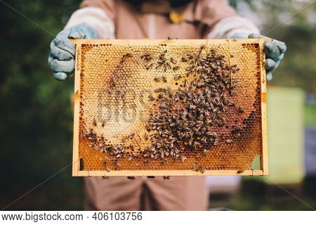 Beekeeper with honeycomb brood frame and honey bees on it
