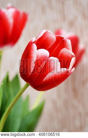 Red Tulip Flower Bouquet As 8 March Womens Day Or 9 May Victory Day Background. Spring Red Tulip Flo