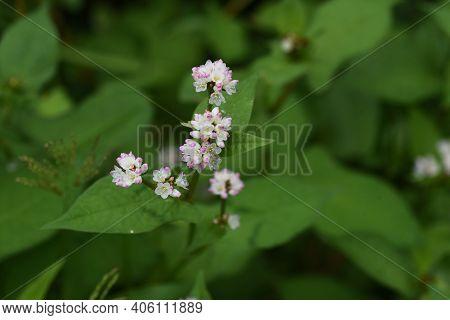 Polygonum Thunbergii Flowers Blooming On The Waterside  / Polygonaceae Annual Grass