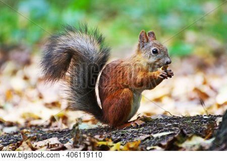 A Squirrel With Gray Fur. The Squirrel Stands On Its Hind Legs And Nibbles At The Food.