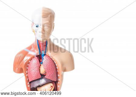 Anatomical Model Of Human Organs On A White Background, Isolate. Lung Disease Concept
