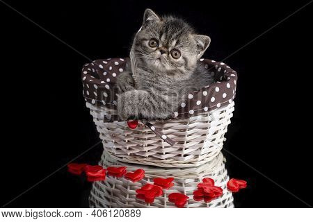 An Exotic Shorthair Kitten Sits In A Wicker Basket With Hearts On A Dark Background. Valentine's Day