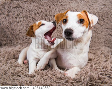 Jack Russell Terrier Dogs Are Lying Close Together, Adult Mother Dog And Baby Puppy.