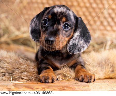 Dachshund dog, puppy black tan mrrle color