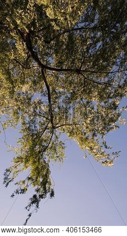 Natural Background With Low Angle View Under Willow Tree With Green Foliage Branches Sway By Wind. A