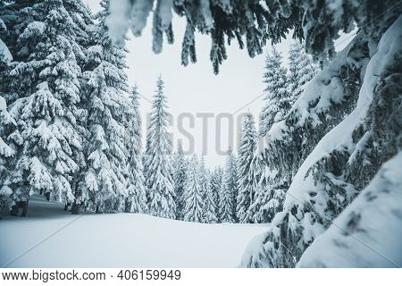 Picturesque view of snow-capped spruces on a frosty day. Location place of Carpathian mountains, Ukraine, Europe. Photo wallpapers. Christmas concept. Happy New Year! Discover the beauty of earth.