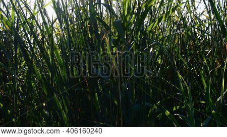 Lush Cattail Thicket Of Overgrown Lake Shore. Relaxing Zen-like Nature Background With Defocused Lon