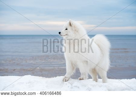 Samoyed White Dog Is On Snow Saulkrasti Beach In Latvia