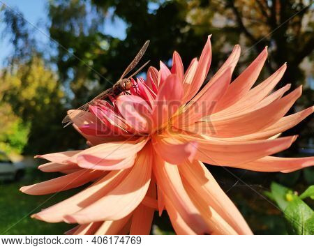 A Dragonfly Sits On A Pink Dahlia. Dragonfly On A Flower Close-up