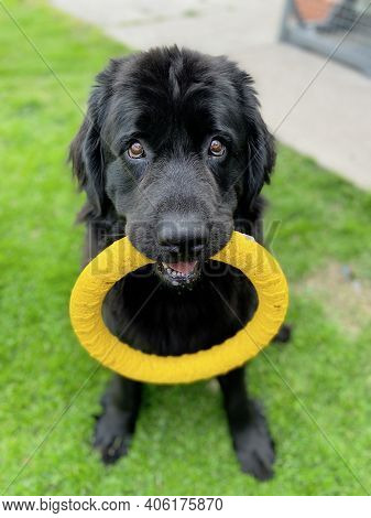 Purebread Newfoundland Black Dog Sitting Down Holds A Yellow Circle Toy In Its Mouth Waiting To Play